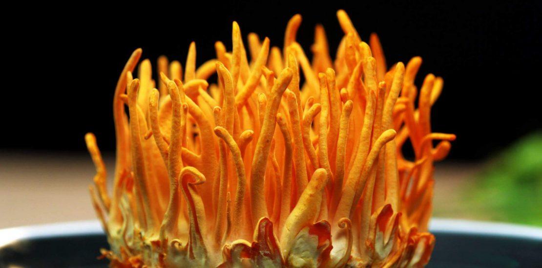 bán đông trùng hạ thảo tươi